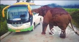 勐海:中巴路上抛了锚 野象纠缠两个半小时幸好没伤人