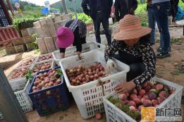 泸西午街铺镇油桃成熟走俏市场
