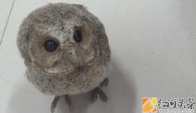 金平:城区派出所民警收到呆萌小鸟 竟是国家二级保护动物领角鸮